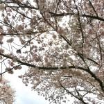 【日本一時帰国編】桜も美しかったです。。